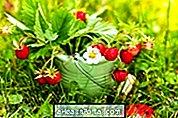 Wild jordbær